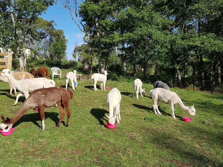 Feeding Zinc Pellets to your Alpacas- Tips and Tricks from The Lifestyle Vet